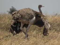 Autruche femelle, ailes ouvertes. Source : http://data.abuledu.org/URI/53879dad-autruche-femelle-ailes-ouvertes