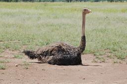 Autruche femelle couvant ses oeufs. Source : http://data.abuledu.org/URI/53879b29-autruche-femelle-couvant-ses-oeufs
