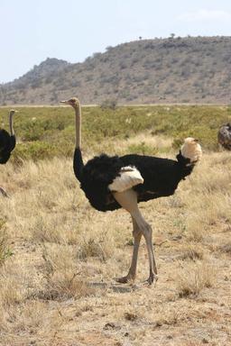 Autruche mâle. Source : http://data.abuledu.org/URI/5061c60f-autruche-male