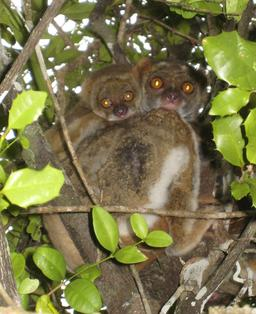 Avahi laineux et son petit à Madagascar. Source : http://data.abuledu.org/URI/52d1d8cf-avahi-laineux-et-son-petit-a-madagascar
