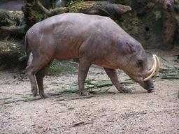 Babiroussa mâle. Source : http://data.abuledu.org/URI/53ece88c-babiroussa-male