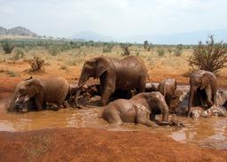Bain de boue d'éléphants d'Afrique. Source : http://data.abuledu.org/URI/53400478-bain-de-boue-d-elephants-d-afrique