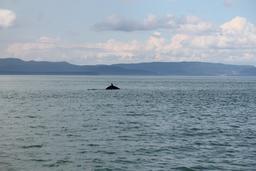 Baleine à Tadoussac. Source : http://data.abuledu.org/URI/59bc7deb-baleine-a-tadoussac