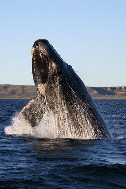 Baleine franche australe. Source : http://data.abuledu.org/URI/504de634-baleine-franche-australe