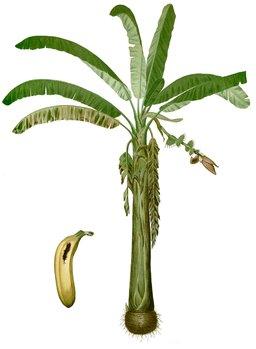 Banane et bananier. Source : http://data.abuledu.org/URI/530f0e42-banane-et-bananier
