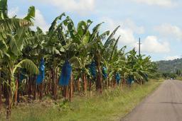 Bananeraie. Source : http://data.abuledu.org/URI/530f1090-bananeraie