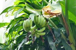 Bananier plantain. Source : http://data.abuledu.org/URI/52db2aef-bananier-plantain