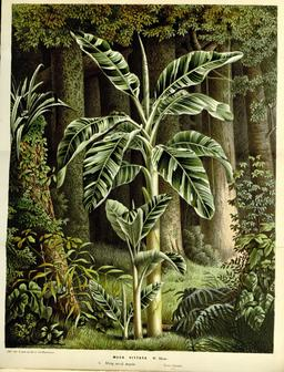 Bananier plantain. Source : http://data.abuledu.org/URI/52db2c64-bananier-plantain