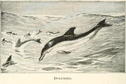 Banc de dauphins. Source : http://data.abuledu.org/URI/5880a71a-banc-de-dauphins