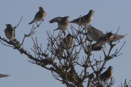 Bande de grives litornes posées dans un arbre. Source : http://data.abuledu.org/URI/5172a0b1-bande-de-grives-litornes-posees-dans-un-arbre