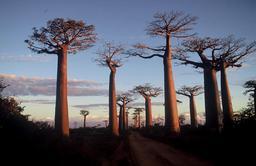 Baobab. Source : http://data.abuledu.org/URI/511e3dd4-baobab