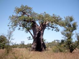 Baobab au Burkina Faso. Source : http://data.abuledu.org/URI/54870918-baobab-au-burkina-faso