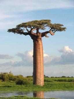 Baobab de Grandidier. Source : http://data.abuledu.org/URI/47f4bb34-baobab-de-grandidier