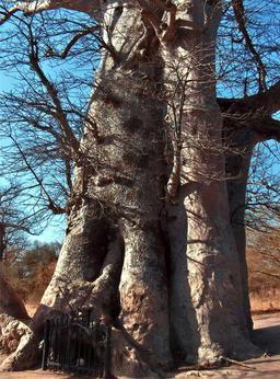 Baobab sacré et sépultures de Griots. Source : http://data.abuledu.org/URI/5485a911-baobab-sacre-et-sepultures-de-griots