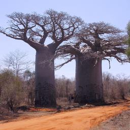 Baobabs à Madagascar. Source : http://data.abuledu.org/URI/5184da1f-baobabs-a-madagascar