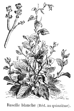 Baselle blanche. Source : http://data.abuledu.org/URI/544f1aaf-baselle-blanche