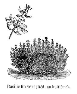 Basilic fin vert. Source : http://data.abuledu.org/URI/544f1c38-basilic-fin-vert