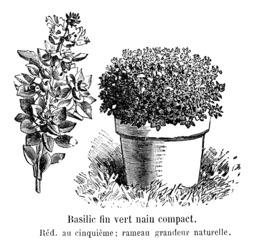 Basilic fin vert nain compact. Source : http://data.abuledu.org/URI/544f1bc4-basilic-fin-vert-nain-compact