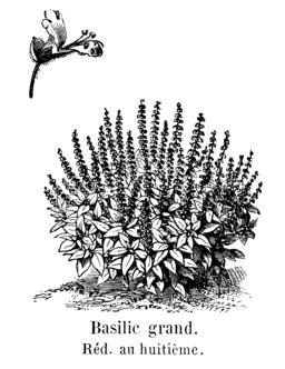 Basilic grand. Source : http://data.abuledu.org/URI/544f1caa-basilic-grand