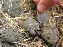 Bébé tortue. Source : http://data.abuledu.org/URI/5184b839-bebe-tortue