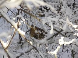 Bécasse des bois dans la neige. Source : http://data.abuledu.org/URI/52965bcc-becasse-des-bois-dans-la-neige