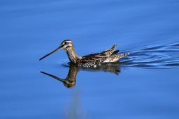 Bécassine des marais en Angleterre. Source : http://data.abuledu.org/URI/551452b2-becassine-des-marais-en-angleterre