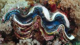 Bénitier géant ou Tridacna maxima. Source : http://data.abuledu.org/URI/55382049-benitier-geant-ou-tridacna-maxima