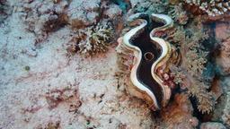 Bénitier géant ou Tridacna maxima. Source : http://data.abuledu.org/URI/5538207d-benitier-geant-ou-tridacna-maxima