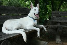 Berger allemand blanc. Source : http://data.abuledu.org/URI/50198a69-2008-07-11-white-german-shepherd-pup-chilling-at-the-coker-arboretum-jpg