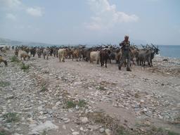 Berger et troupeau de chèvres en Grèce. Source : http://data.abuledu.org/URI/53aef2b3-berger-et-troupeau-de-chevres-en-grece