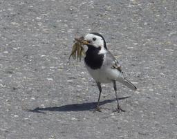 Bergeronnette grise tenant plusieurs insectes dans son bec. Source : http://data.abuledu.org/URI/52b9ba95-bergeronnette-grise-tenant-plusieurs-insectes-dans-son-bec
