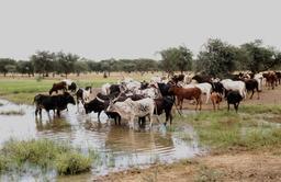 Bétail à un point d'eau au Burkina Faso. Source : http://data.abuledu.org/URI/534e3995-betail-a-un-point-d-eau-au-burkina-faso