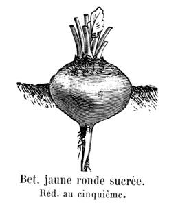 Betterave jaune ronde sucrée. Source : http://data.abuledu.org/URI/544f23cc-betterave-jaune-ronde-sucree