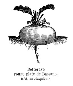 Betterave rouge plate de Bassano. Source : http://data.abuledu.org/URI/544f3116-betterave-rouge-plate-de-bassano