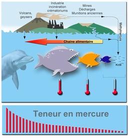Bioconcentration de mercure en chaîne alimentaire. Source : http://data.abuledu.org/URI/50f9b580-bioconcentration-de-mercure-en-chaine-alimentaire