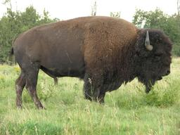 Bison. Source : http://data.abuledu.org/URI/501a37d5-bison