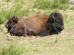 Bison. Source : http://data.abuledu.org/URI/5048c4c0-bison