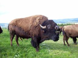 Bison Americain. Source : http://data.abuledu.org/URI/5062cd70-bison-americain