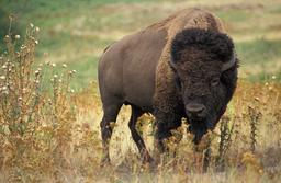 Bison américain. Source : http://data.abuledu.org/URI/516ae45a-bison-americain