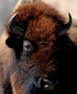 Bison d'Amérique. Source : http://data.abuledu.org/URI/54e62e06-bison-d-amerique