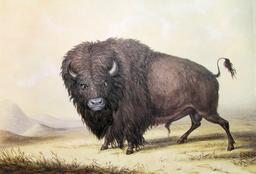 Bison d'Amérique en 1846. Source : http://data.abuledu.org/URI/535675c7-bison-d-amerique-en-1846