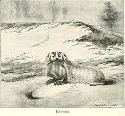 Blaireau. Source : http://data.abuledu.org/URI/587fe346-blaireau