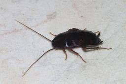 Blattes. Source : http://data.abuledu.org/URI/505c775b-blattes