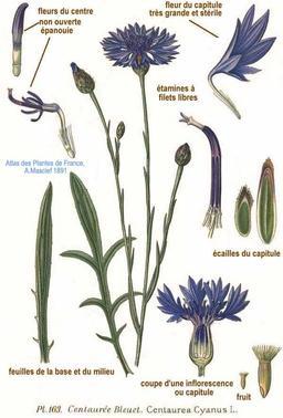 Bleuet. Source : http://data.abuledu.org/URI/5050e5ef-bleuet