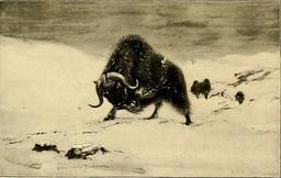 Boeuf musqué en hiver. Source : http://data.abuledu.org/URI/587ea5d4-boeuf-musque-en-hiver