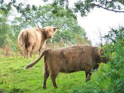Boeufs des highlands en Écosse. Source : http://data.abuledu.org/URI/55df893a-boeufs-des-highlands-en-ecosse