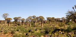 Bosquet d'aloès en Namibie. Source : http://data.abuledu.org/URI/52d95fb5-bosquet-d-aloes-en-namibie