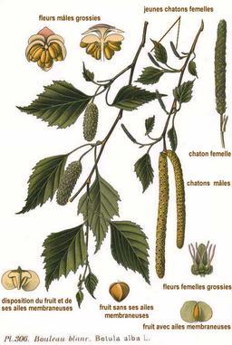 Bouleau blanc. Source : http://data.abuledu.org/URI/50983d17-bouleau-blanc