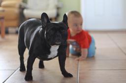 Bouledogue français avec un bébé. Source : http://data.abuledu.org/URI/51612f88-bouledogue-francais-avec-un-bebe