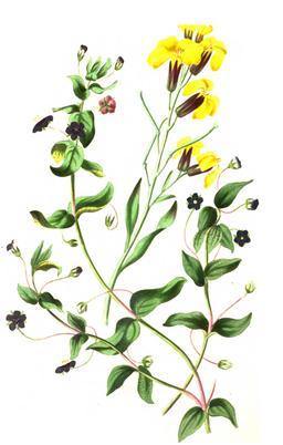 Bouquet des champs en 1836. Source : http://data.abuledu.org/URI/53ed382e-bouquet-des-champs-en-1836